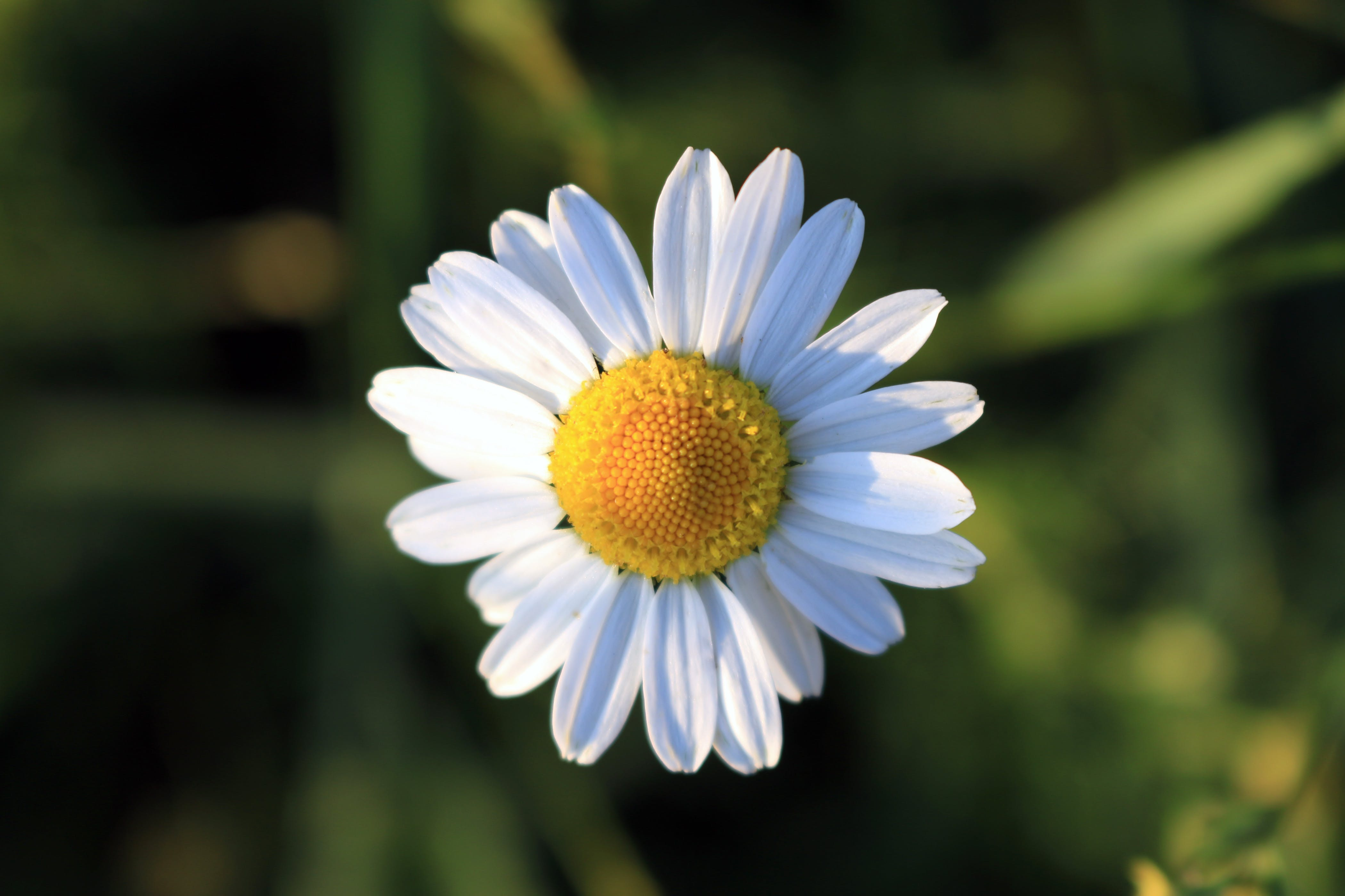 Selective Focus Photography of White Ox Eye Daisy Flower