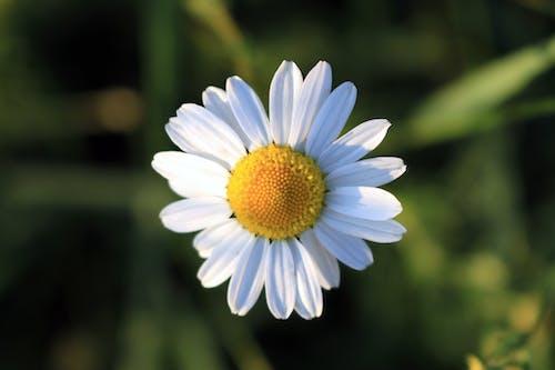 Kostnadsfri bild av blomma, daisy, flora, natur