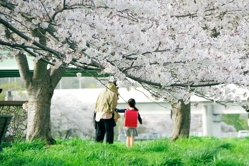 Immagine gratuita di ciliegia, cultura giapponese, giappone