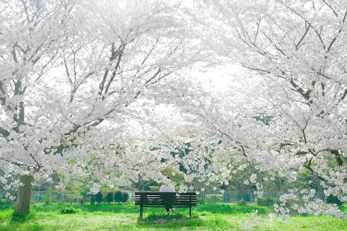 Immagine gratuita di albero, ciliegia, cultura giapponese