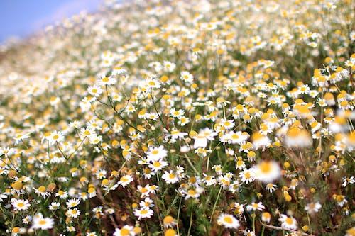 Kostnadsfri bild av blommor, prästkragar, sommar