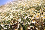 flowers, summer, marguerites