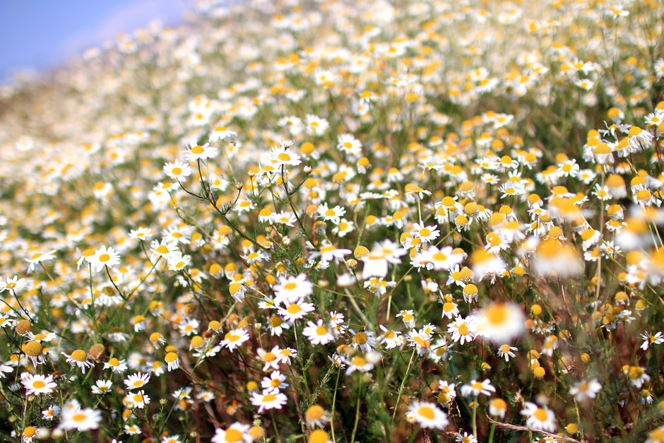 flowers, marguerites, summer