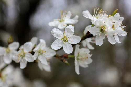 Close-Up Photo of White Cherry Blossoms in Bloom