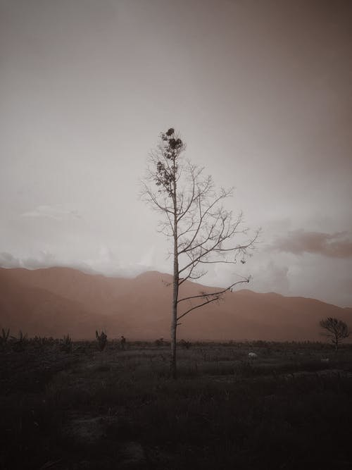 Grayscale Photo of a Leafless Tree in the Field