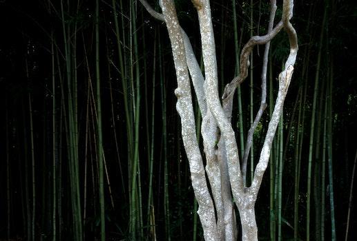 Free stock photo of trees, bamboo trees