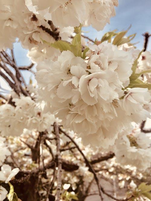 Free stock photo of blossom, flower, white blossoms