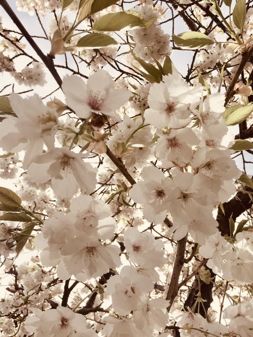 Free stock photo of blossom, flowers, white blossoms