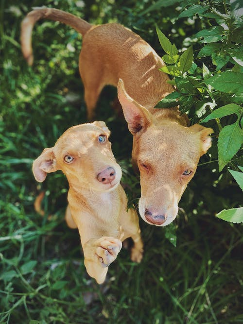From above of Podenco dogs with beige coat standing on green meadow in sunbeams