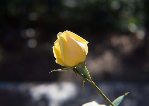 Free stock photo of flower, garden, rose