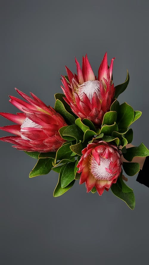 From above bouquet of fresh red protea with large green leaves on gray background