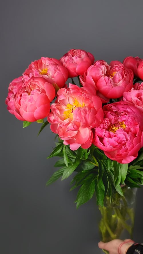 Vase with lush bouquet of tender red peonies with green leaves against gray background