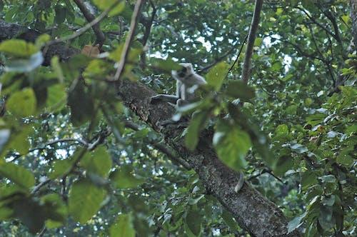 Ilmainen kuvapankkikuva tunnisteilla eläinkuvaus, erämaa luonto, himalajan kieli, Intia
