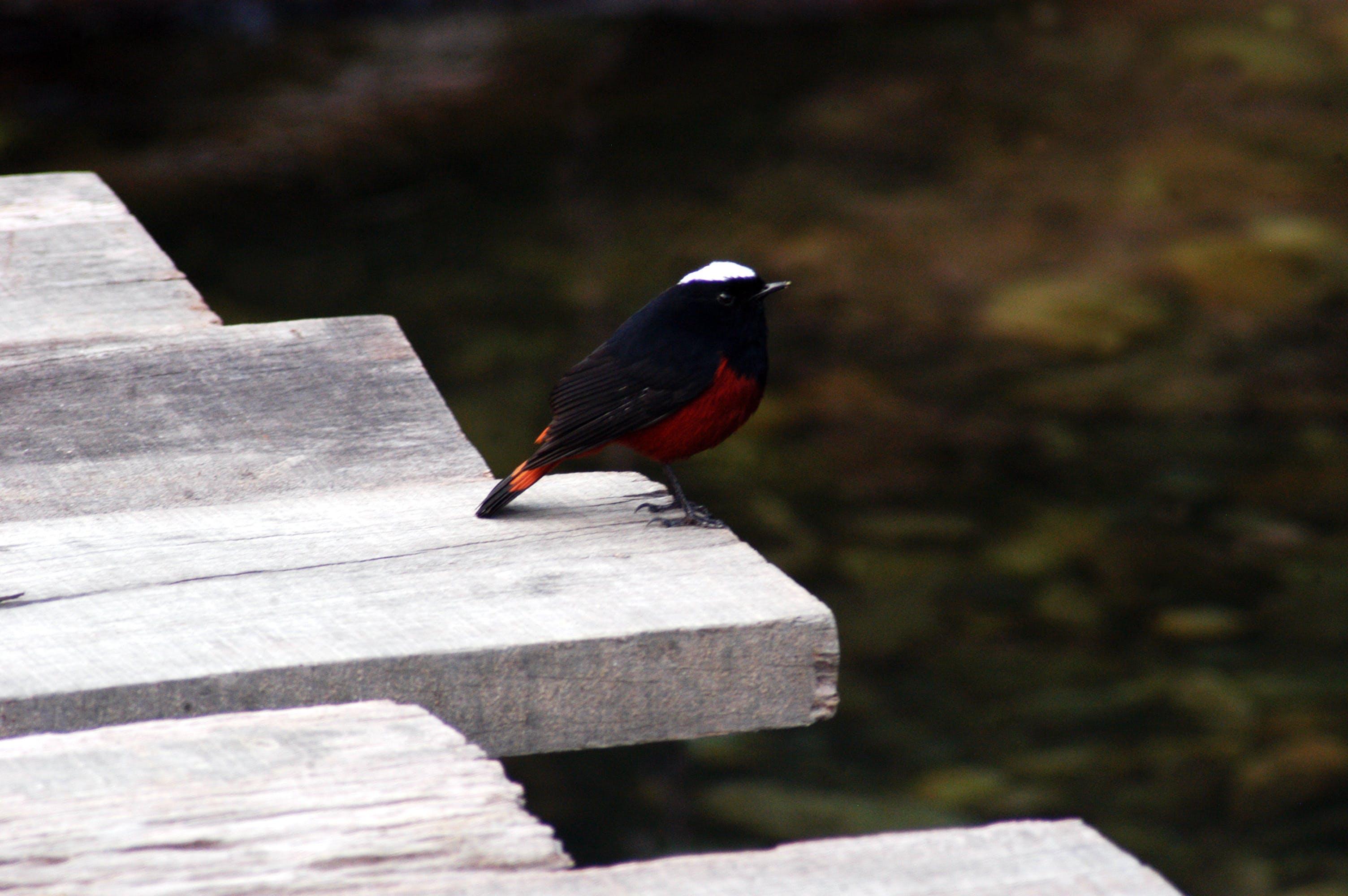 Free stock photo of bird, bird photography, himalayan, himalayas