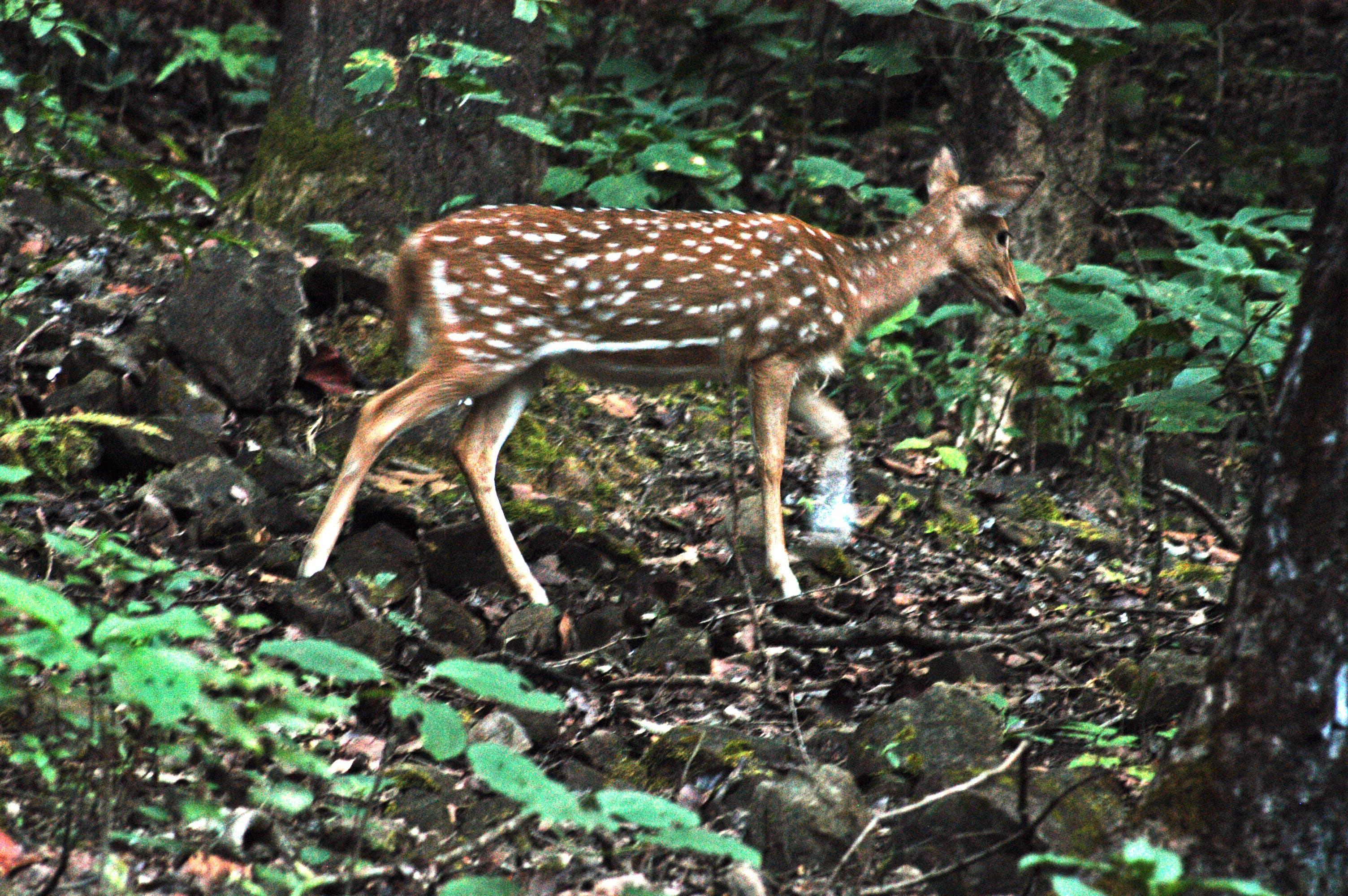 Free stock photo of animal, animal photography, forests, himalayas