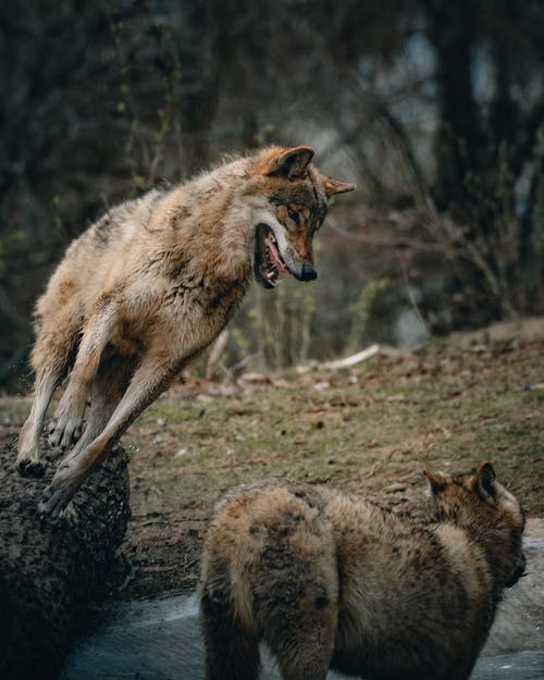 Wild wolf with gray fur roaring and grinning while running to wolf on blurred background of forest in daytime