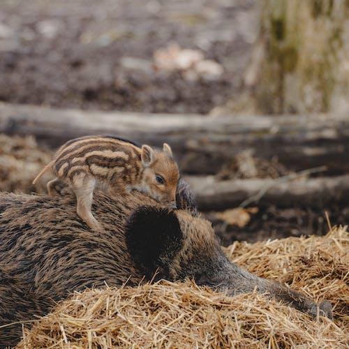 Cute boar cub with striped fur sitting on mom back in straw on blurred background