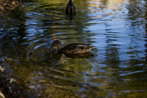 Two Brown Ducks in Body of Water