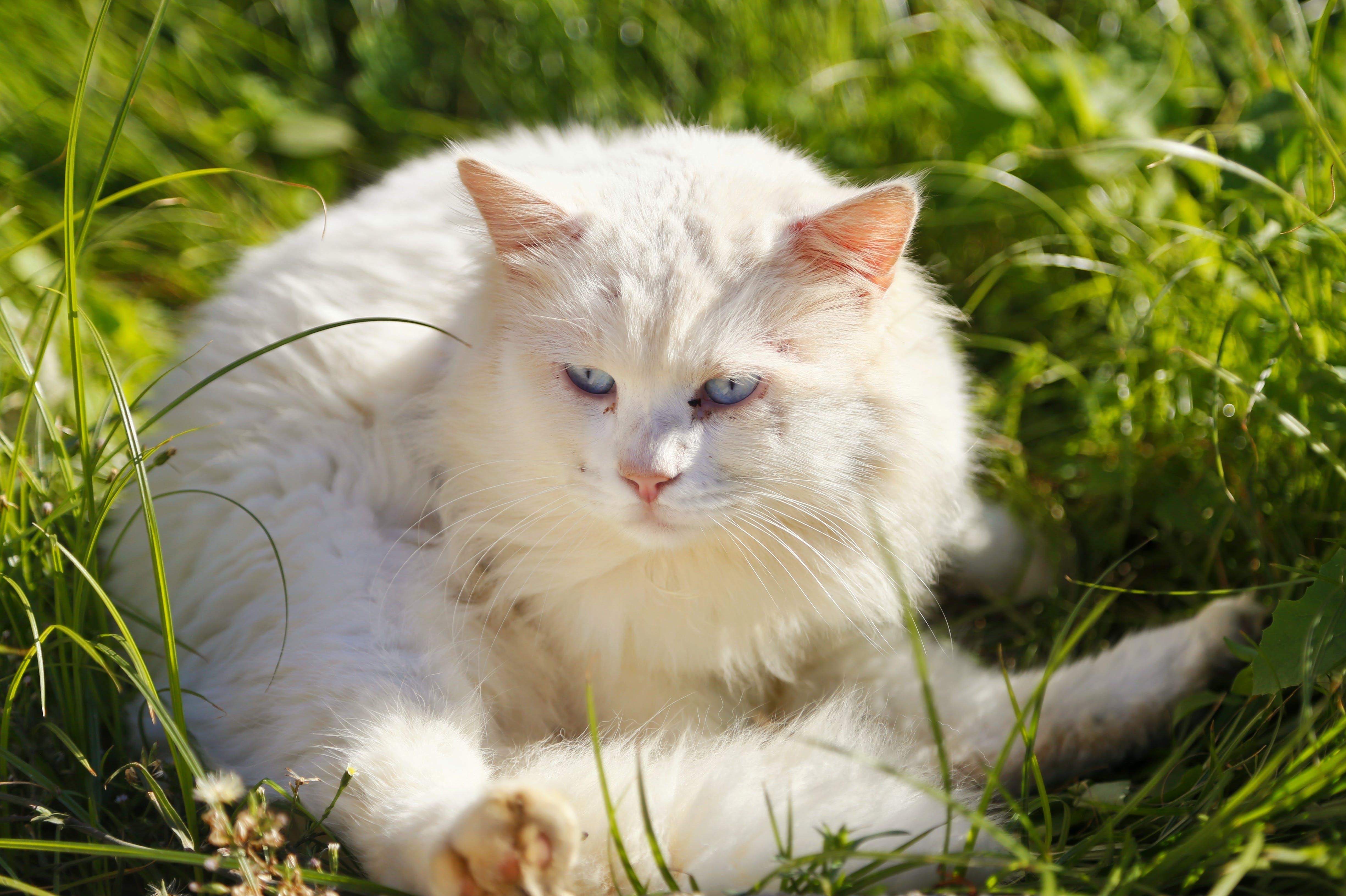 Free stock photo of animal, blue eyed cat, blue eyes, cat