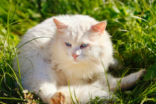 Free stock photo of animal, blue eyed cat, blue eyes, cat
