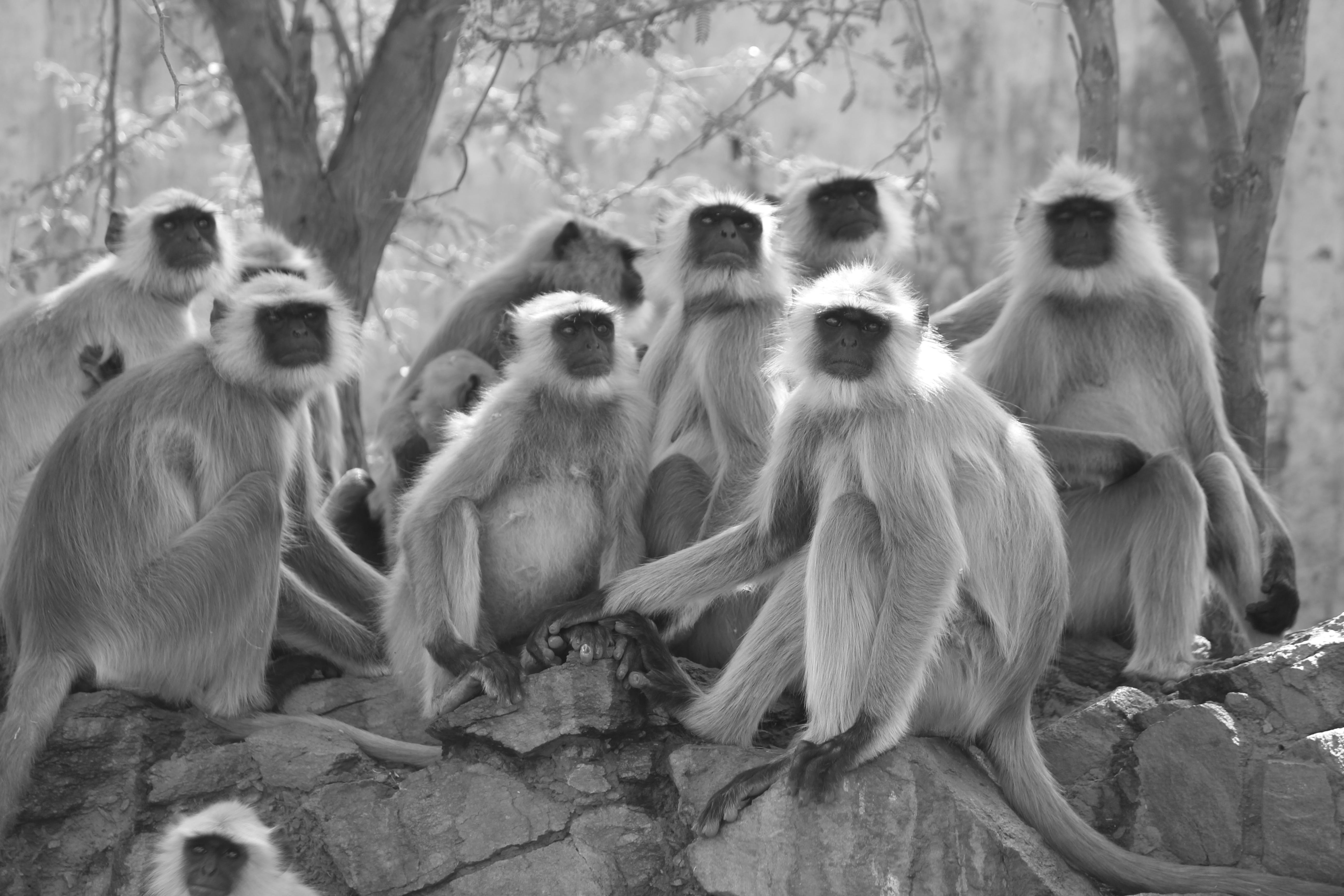 Grayscale Photo of Gray Langur Sitting Next to Trees
