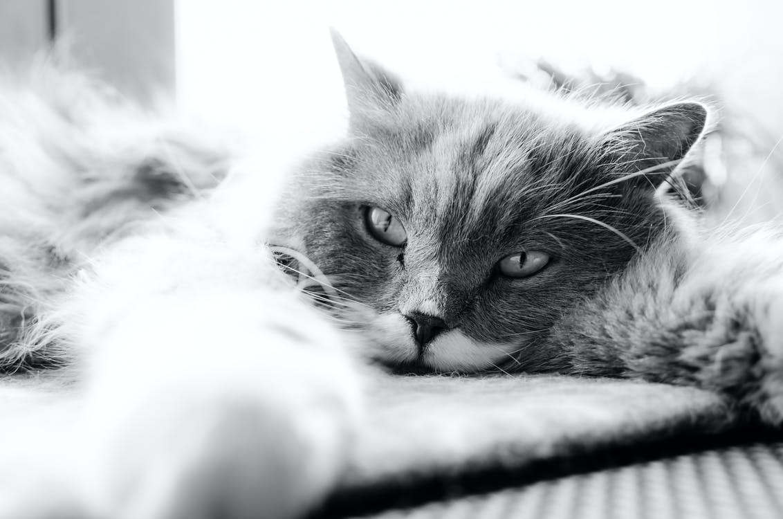 acostado, adorable, animal