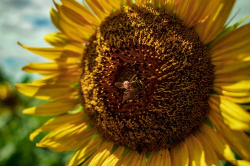 Black and Brown Bee on Sunflower