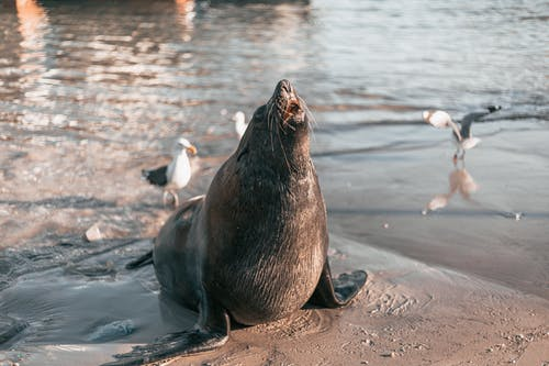 Sea Lion on Brown Sand Near Body of Water