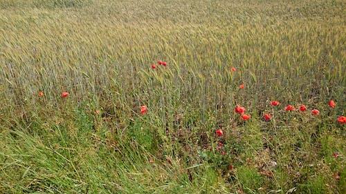 Kostnadsfri bild av contryside, vackra blommor
