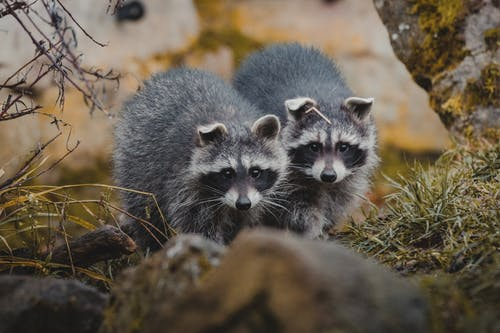 Cute raccoons on grassy ground