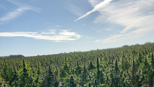 Free stock photo of cannabis, marijuana