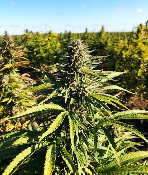 Free stock photo of cannabis, marijauna