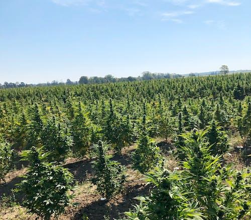 Free stock photo of cannabis, cannabis farm, marijuana