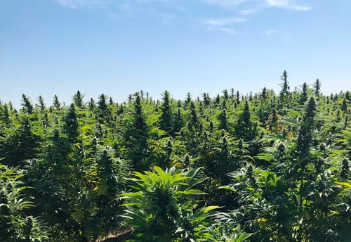 Free stock photo of cannabis, marijuana, weed
