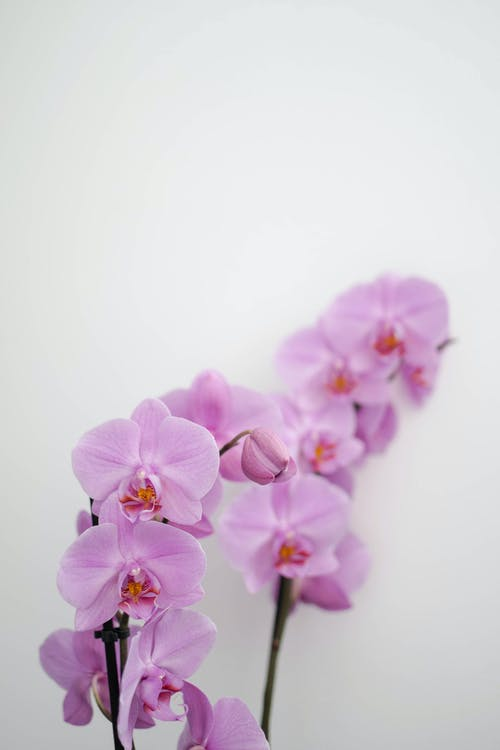 Pink Orchids on White Background