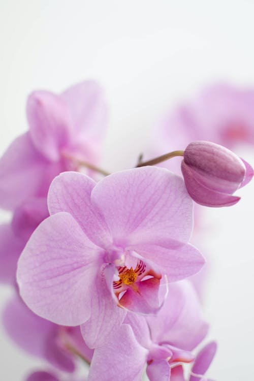 Purple Moth Orchid in Bloom Close Up Photo