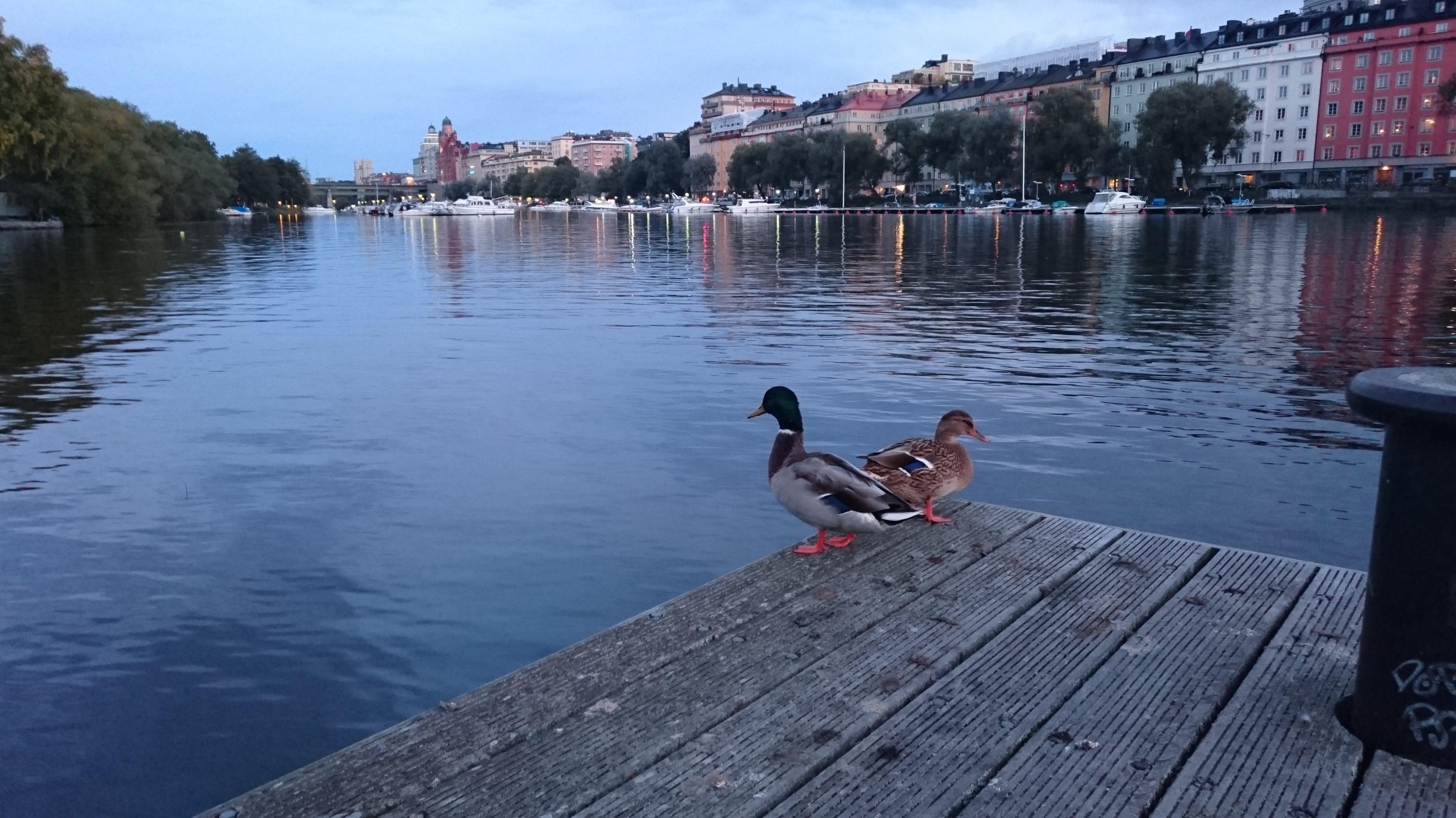 Free stock photo of ducks, water, wooden pier