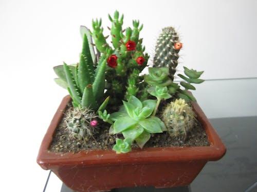 Free stock photo of cactus plant, indoor plants