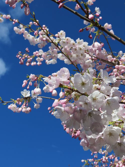 Free stock photo of blue sky and spring blooms, cherry blossoms, spring blossoms