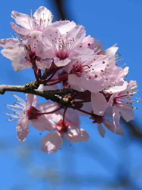 Free stock photo of cherry tree, close up, pink cherry blossom