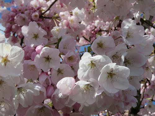 Free stock photo of cherry tree, close up blossoms, cluster