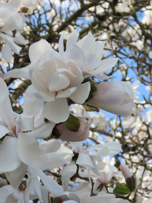 Free stock photo of magnolia blooms, spring blooms, spring blossoms