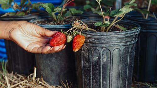 Fotos de stock gratuitas de fresas, Fruta, mano