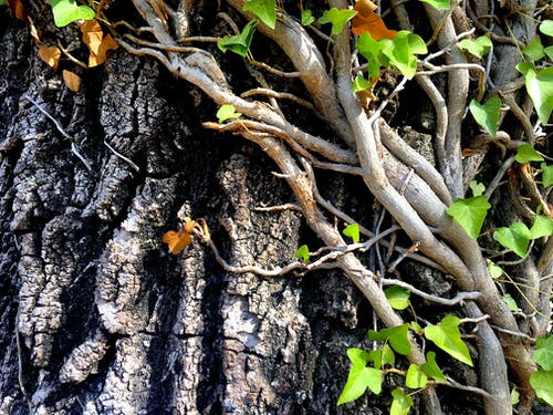 Free stock photo of greece, ivy, pine tree