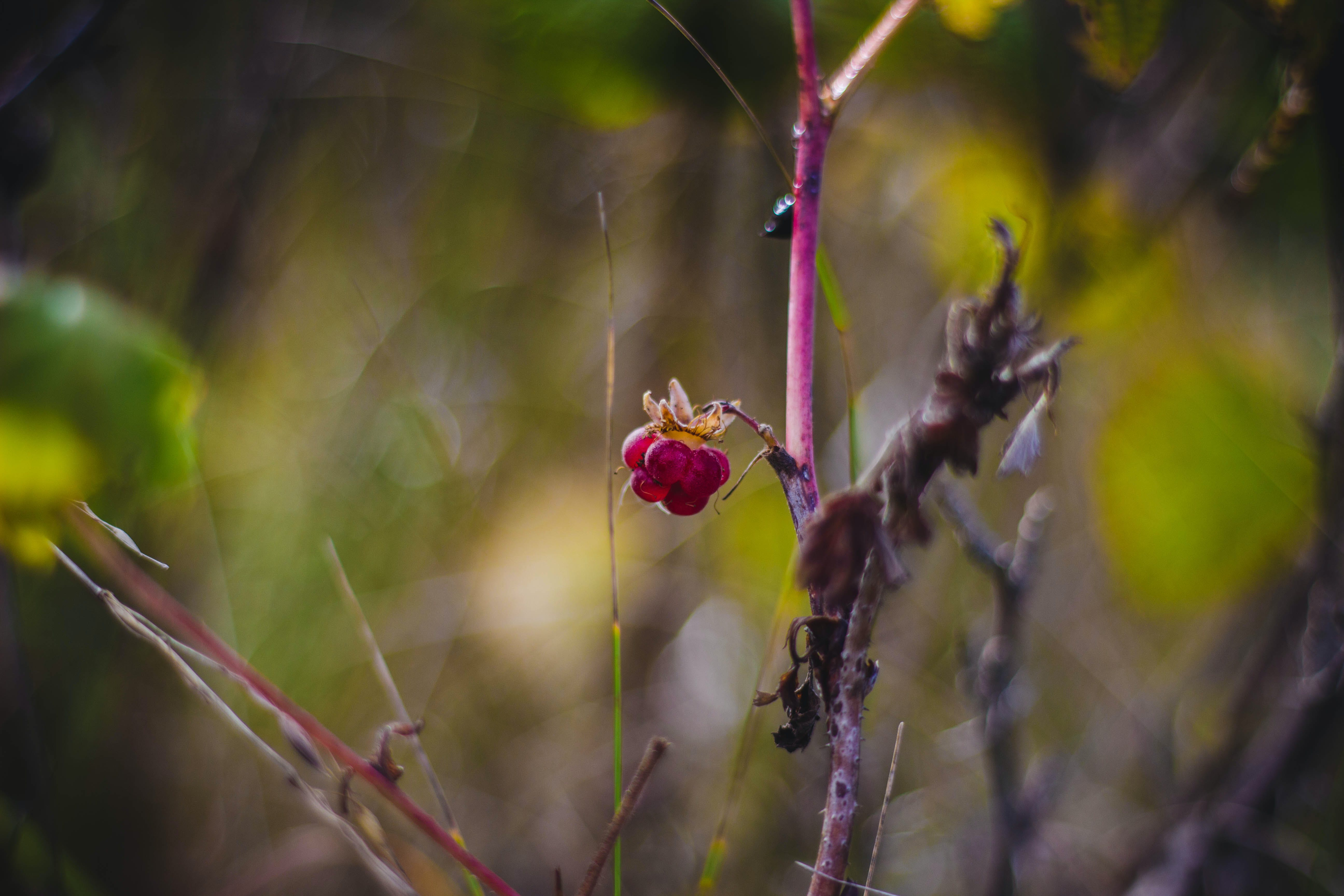 Shallow Focus Photography of Red Rose Flower