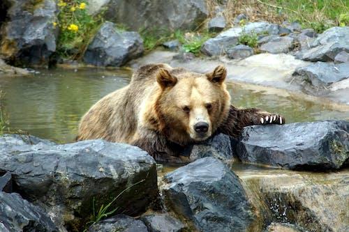 A Grizzly Bear near the Rocks