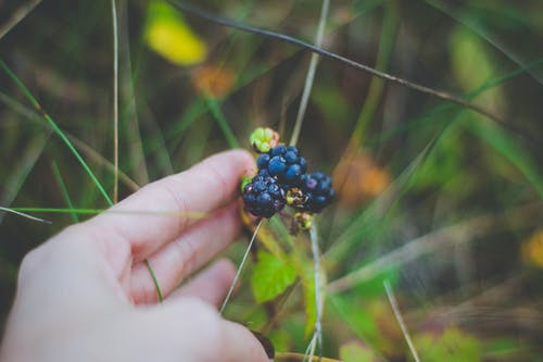 Person Holding Black Berries
