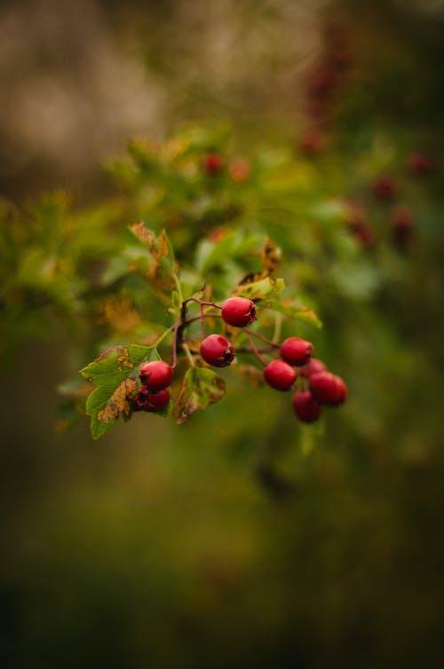 Ingyenes stockfotó bogyók, gyár, növény, piros témában