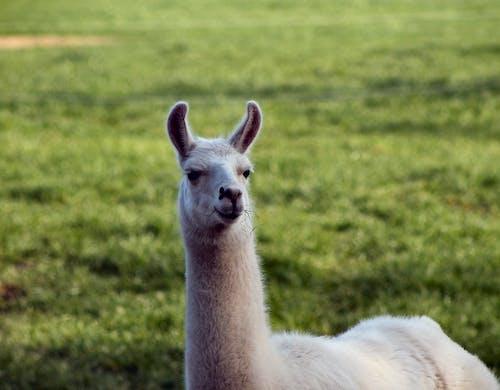 White Llama on Green Grass Field