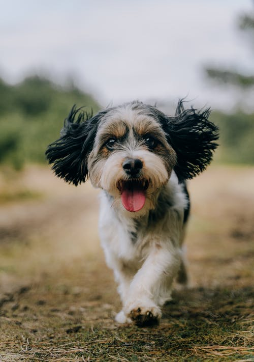 Close-Up Shot of an Adorable Yorkshire Terrier Running while Looking at Camera